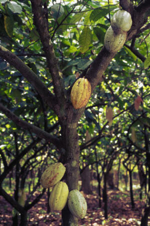 Cacao Orchard with Pods