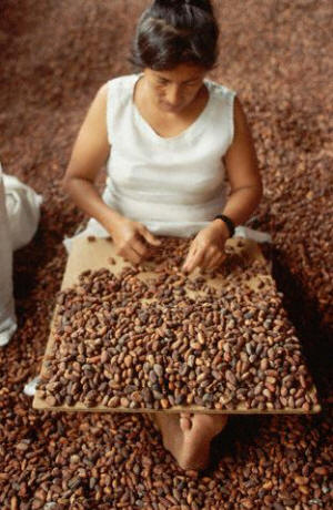 A woman sorts cacao beans