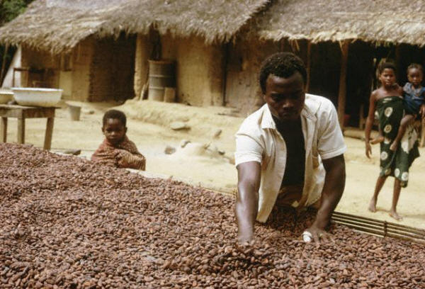 Ashanti Laborer Spreading Cocoa to Dry