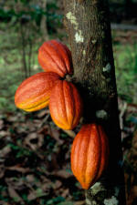 Cocao beans on a cocao tree