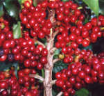Red Catucai Coffee, a variety of Coffee arabica