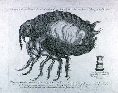A 17th century drawing of a flea