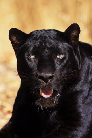 картинки фото пантера