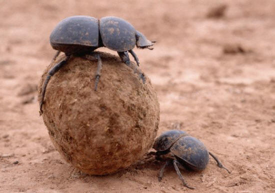 Dung Beetles Roll Ball Of Dung