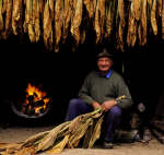Farmer Drying Tobacco Leaves Over Fire